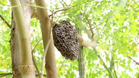 Honeycomb on moringa tree and blur green leaves background. Honeycomb or honey bee hive on moringa tree and blur green leaves background stock footage