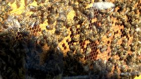 Bees On Honey Cells. Honeycomb with honey and bees inside the hive stock video footage