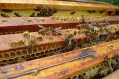 Honeycomb. Honey comb with  active bees Royalty Free Stock Photo