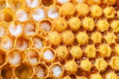 Honeycomb with larvae Stock Photo