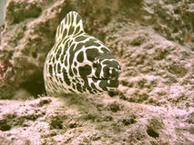 Honeycomb Moray stock photos
