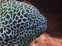 Honeycomb moray Stock Photo