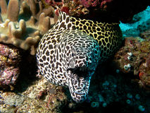 Honeycomb Moray Eel Stock Images
