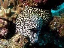Honeycomb Moray Eel stock images