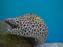 Honeycomb Moray Eel. stock images