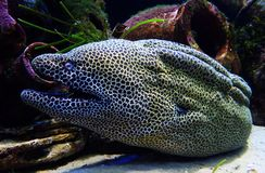 Honeycomb Moray eel Royalty Free Stock Images