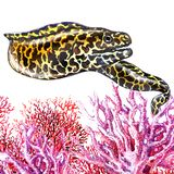Honeycomb Moray Eel fish with corals isolated, hand drawn watercolor illustration on white Royalty Free Stock Image