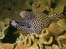 Honeycomb Moray Eel. Macro portrait of a Honeycomb Moray eel Royalty Free Stock Photo