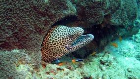 Honeycomb Moray Eel Royalty Free Stock Photography