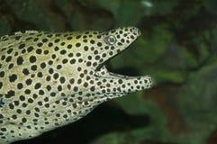 Honeycomb moray (Gymnothorax favagineus). Head of a honeycomb moray Royalty Free Stock Photography