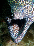 Honeycomb moray. Like all moray eels, the honeycomb moray's breathing gape is not a threat display. If we're being anthropomorphic, I prefer to think they look Stock Photos
