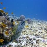Honeycomb Murray eel Royalty Free Stock Photos