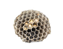 Honeycomb paper wasp Royalty Free Stock Image