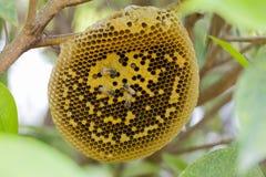 Honeycomb pusty lub pustynny na drzewie i niekt?re pszczo?ach obraz royalty free