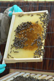 Honeycomb Section From Bee Hive Stock Photos