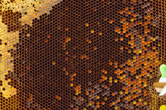 Honeycomb. Shapes with wax in hive Royalty Free Stock Image