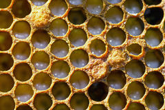 Honeycomb with small larvae of bees Royalty Free Stock Photos