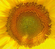 Honeycomb on sunflower with drops of nectar Royalty Free Stock Image
