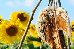Honeycomb in sunflower field. With bee worker working Stock Photo