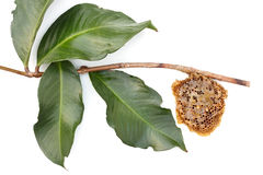 Honeycomb. On tree branch isolated from white background Stock Photography