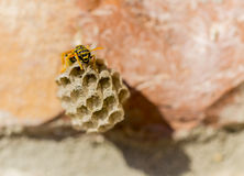 Honeycomb Wasp. Royalty Free Stock Photos