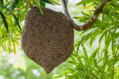 Honeycomb. Wild nests on the branches. And conceal the honey royalty free stock photography