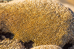 Honeycomb worm reef Royalty Free Stock Image