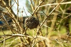Honeycomb zaniechany obwieszenie na gałęziastej naturze obrazy stock