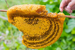 Honeycomb zbliżenie z ręką w naturalnym Obraz Royalty Free