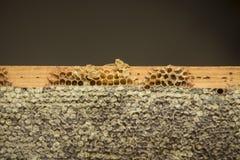 honeycombs Fotografia Royalty Free