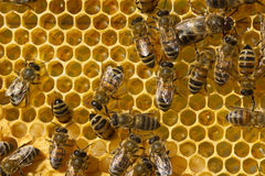 Honeycombs. Bees, nectar and larvae. Stock Image