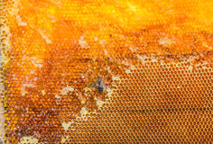 Honeycombs filled with honey and bee closeup Stock Images