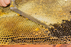 Honeycombs filled with honey, opening the cells. Honeycombs filled with honey. Uncapping the cells of honeycombs by hand using an uncapping knife before Royalty Free Stock Photo