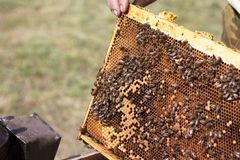 Honeycombs with fresh yellow honey in the apiary. Beekeeper keeps the honeycomb from the hive. Frame with natural honey. Closeup royalty free stock photos
