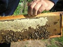 Honeycombs with honey royalty free stock photo