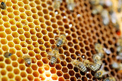 Honeycombs with honey Royalty Free Stock Image