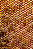 Honeycombs with honey Stock Photos