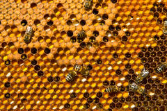 Honeycombs with Pergo and brood. In this case, cells are filled with ambrosia and bee brood stock photography