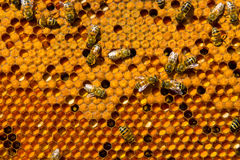 Honeycombs with Pergo and brood. Frames beehive filled with ambrosia and bee brood stock photography