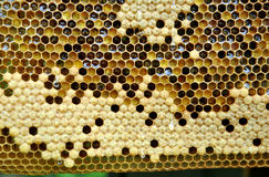 Honeycombs with sealed cells. And honey royalty free stock photos