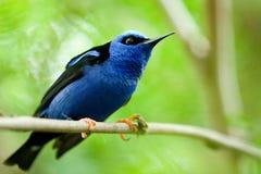 Oiseau avec les plumes bleues Photographie stock