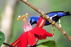 Honeycreeper Bird Stock Photography