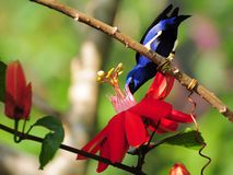 Honeycreeper Bird & Passiflora Stock Photography