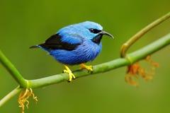 Honeycreeper brillante, lucidus de Cyanerpes, tanager azul tropical exótico con la pierna amarilla, Costa Rica Pájaro cantante az fotos de archivo libres de regalías