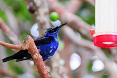Honeycreeper finch bird Stock Image