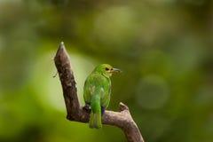 Honeycreeper verde, femminile fotografie stock libere da diritti