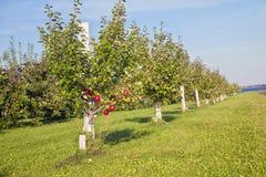 Honeycrisp Apple Orchard Stock Photography