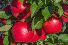 Honeycrisp Apple Royalty Free Stock Image