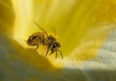 honeydew меда пчелы многодельный Стоковые Фотографии RF