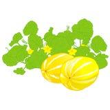 Honeydew melon Stock Images